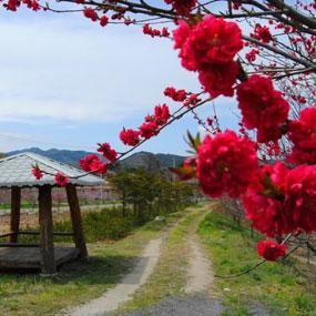 복사꽃축제 여행정보 상세소개