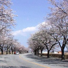 경포대 벚꽃잔치여행정보 http://www.travelkor.com