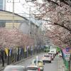 금천벚꽃축제 여행정보 상세소개